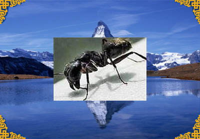 野生藏蚂蚁